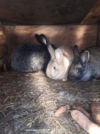 Promocja na  króliki
