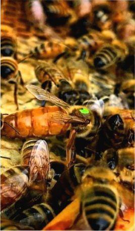 Отправим Отправим (Бджоломатки) Бакфаст 2021 года F-1 Плодные