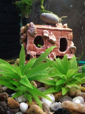 Растения в аквариум лимонник, папоротник и роголистник