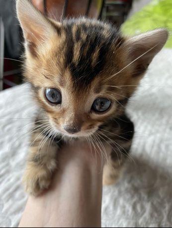 Бенгальськой котик