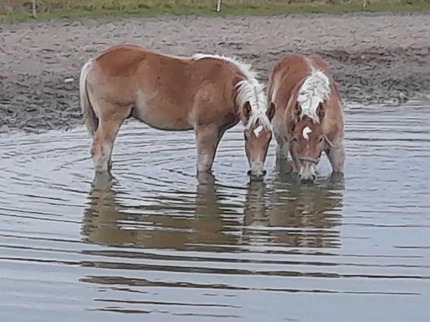 Ogier ogierek ogierki koń konie zimnokrwiste