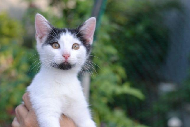 Котик 2,5 місяці ( кошеня кіт  )