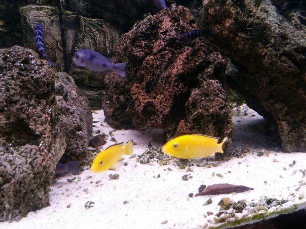 Labidochromis Yellow. Pyszczak yellow