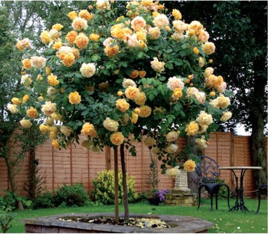 Штамбовые розы. Дерево роза