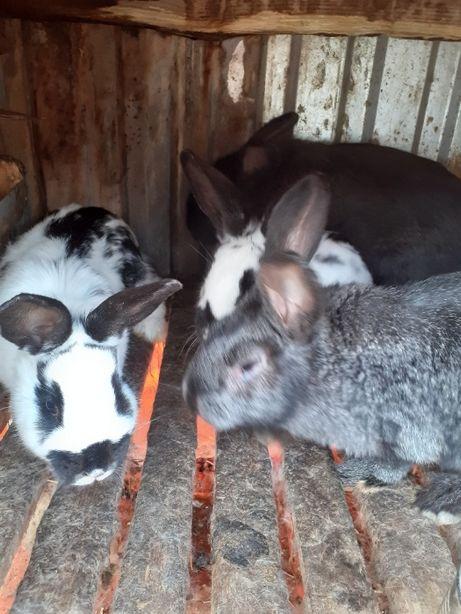 Молодняк кролі 3,5 місяців
