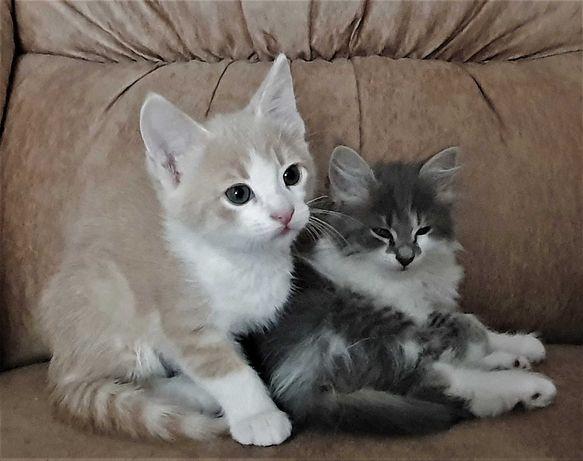 отдам котят в добрые руки  - самые ручные, игривые и ласковые