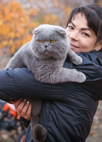 Шотландский вислоухий кот(вязка)