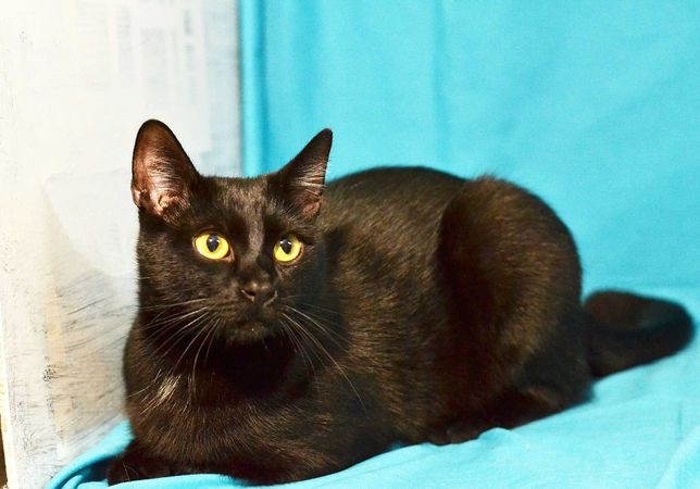 Я чёрный котик Томас, мне 8 месяцев, жду тебя