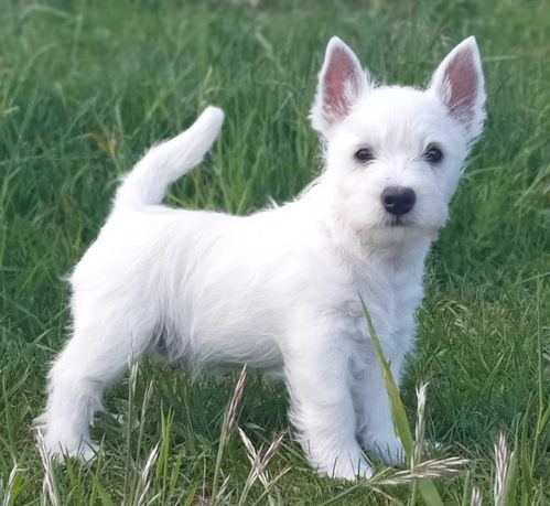 PIĘKNY PIESEK West Highland White Terrier do odbioru