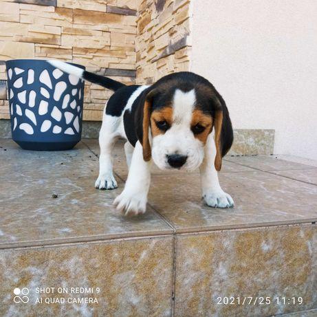 Beagle szczeniak
