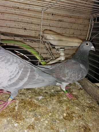 Gołębie pocztowe opale 2