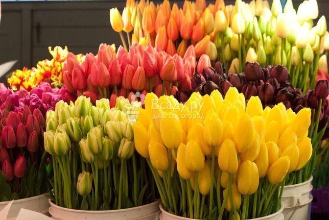 Продам тюльпан - тюльпаны опт розница!ГОРШКИ