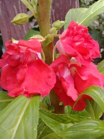 бальзамин садовый семена