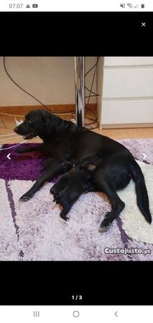 Cachorrinhos muitos fofinhos mae labradara preta