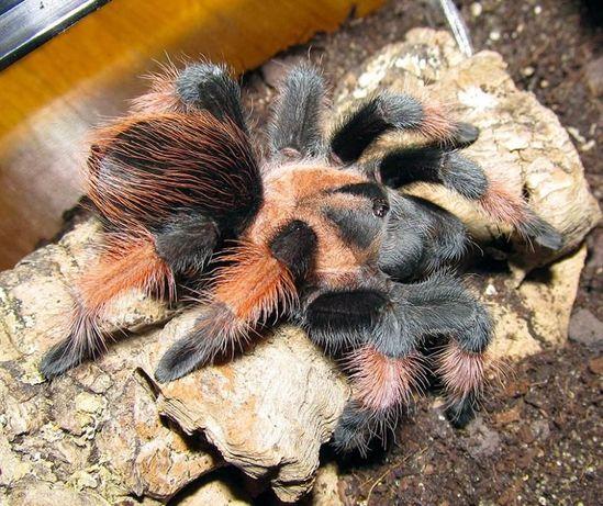 Павук птахоїд паук птицеед корм зофобас субстрат пінцет терраріум