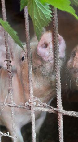 Продається домашня свиня,м'ясної породи