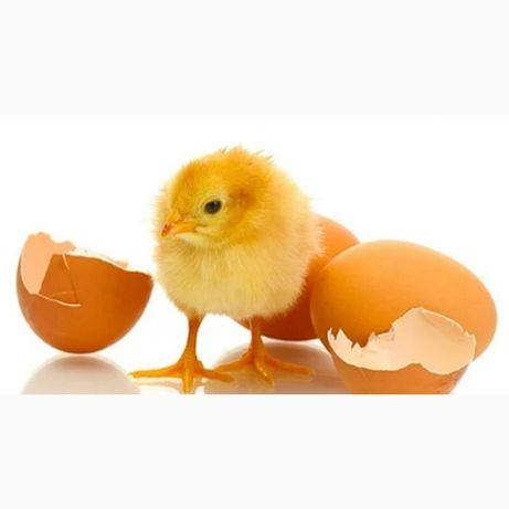 Інкубаційне яйце росс 308 Чехія