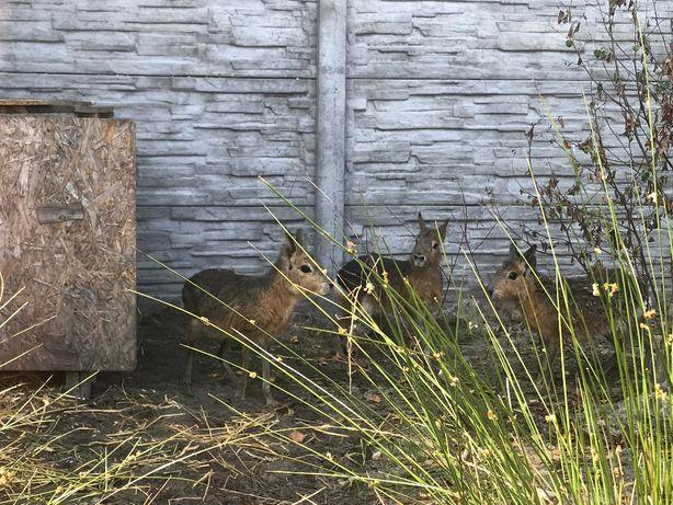 Mara patagońska PARA rzadki gryzoń agroturystyka, min zoo, ciekawostka