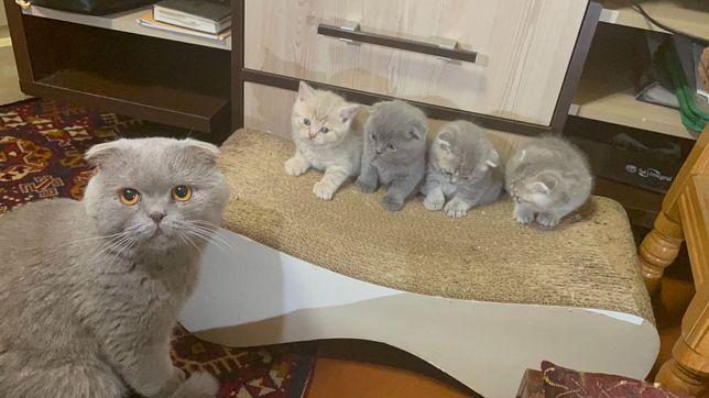 Висловухі/прямовухі шотландські котята