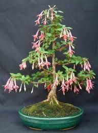 Bonsai Fuchsia Hybrida (Brincos de Princesa)