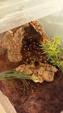 Acanthoscurria Geniculata Parka
