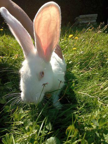 Sprzedam śliczne młode króliki