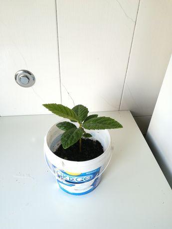 Nespereiras prontas a plantar