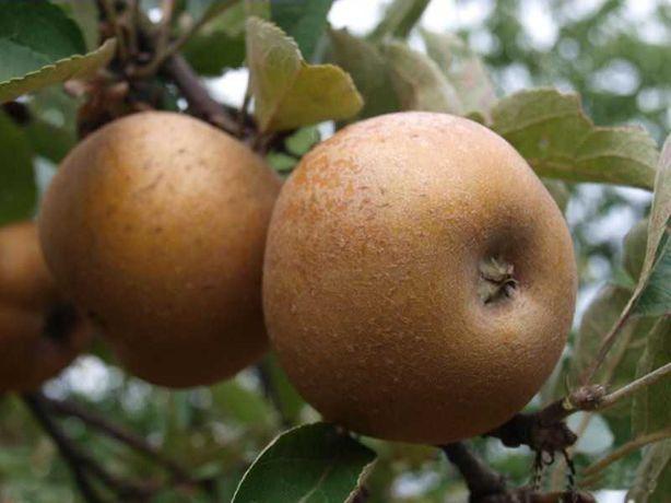 Jabłko szara reneta dżem nalewki wino mus suszki wysyłka