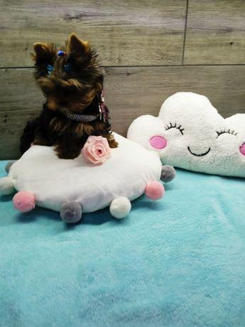 Yorkshire Terrier-śliczny 3 miesięczny piesek z kompletem szczepień.