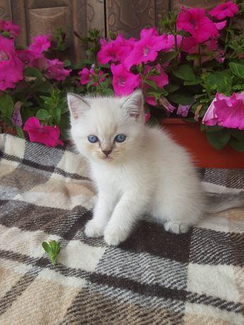 Шоландскі кошенята