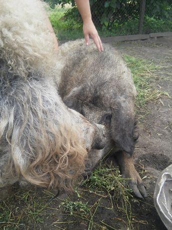 Свині свиньи поросята венгерська мангалиця чистої породи