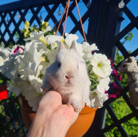DO REZERWACJI Królik króliczek miniaturka