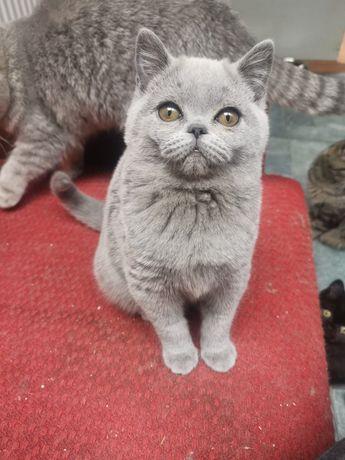 Kotka brytyjska niebieska kot brytyjski dziewczynka kocięta 3.5 mies.