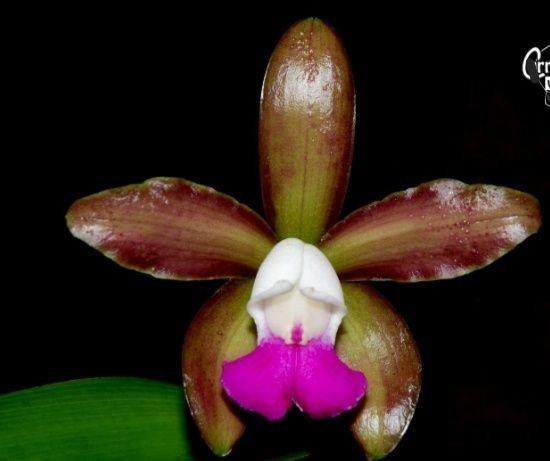 Orquídea Cattleya tigrina 'Maroon'