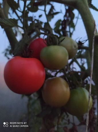Buraczki czosnek, kapusta, pomidor, marchew