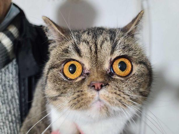 Шотландська красуня кішечка з величезними очима коліру бурштина!