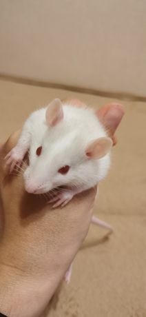 Мои любимые красивые крыски малышата
