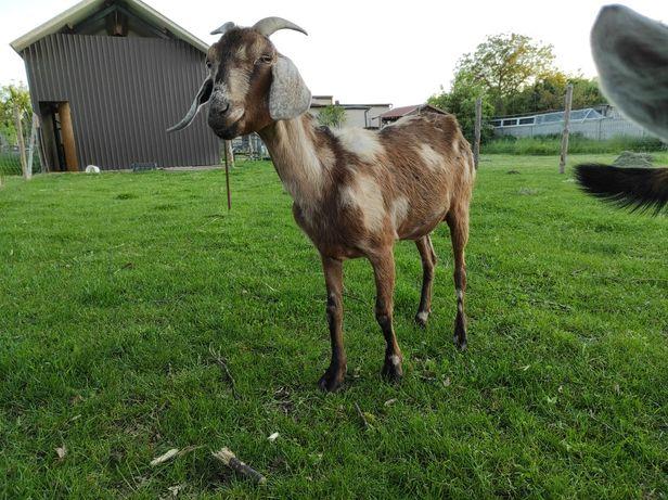 Koza anglonubijska 100%  AN likwidacja stada