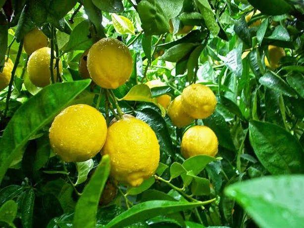 Limão doce. Não é ácido como o limão, não é laranja, é limão DOCE!