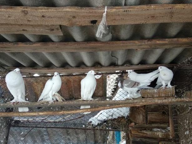 Дутиші голуби