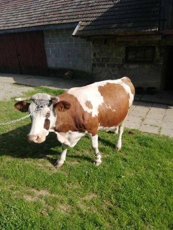 Krowa 7letnia na ocieleniu