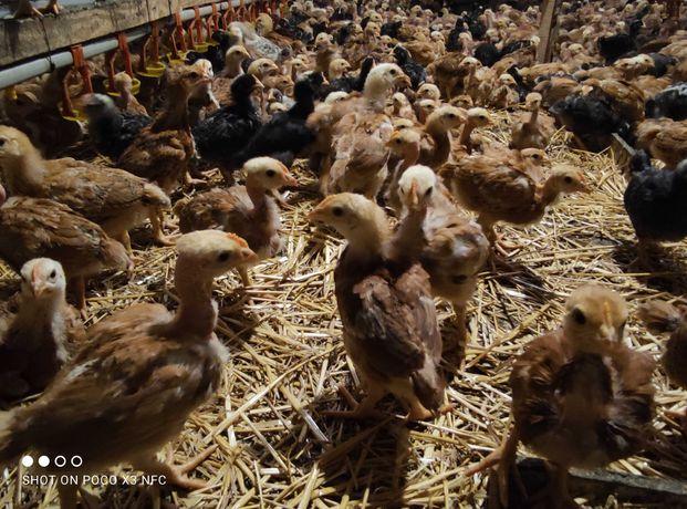 Добові та підрощені курчата різного віку