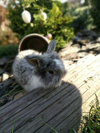 Sprzedam  pięknie  króliki miniaturki baranki kudłate