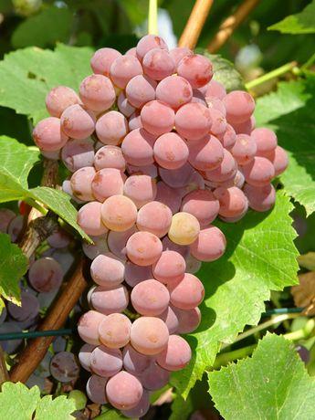 Sadzonki winorośli, winogrona - winnica Golesz