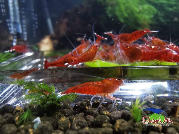 Camarões Caridina Taiwan Black King Kong Extreme / Red Ruby Extreme
