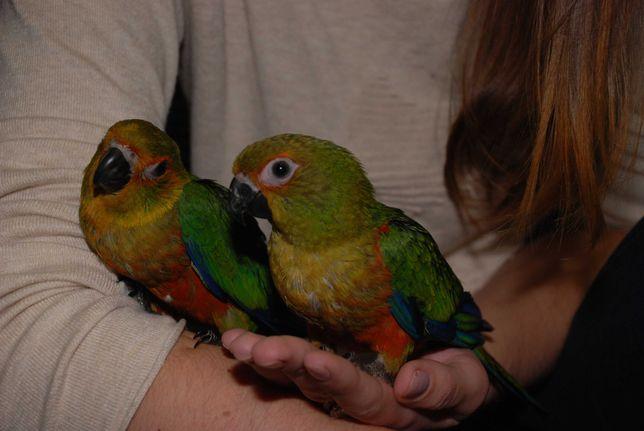 Попугай Солнышко Аратинга Яндашка, ручные птенцы
