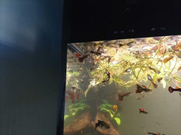 Gupiki różne kolory, ślimaki Ampularia żółte, brązowe i białe