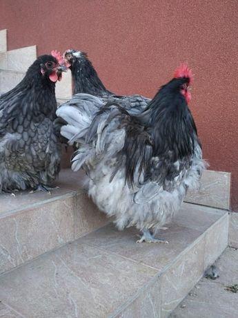 Кури, курчата, інкубаційні яйця