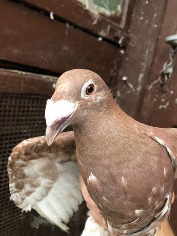Gołębie chodowlane