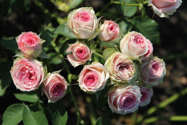 Предзаказ на осень 2020 саженцы роз (саджанці троянд) более 150 сортов